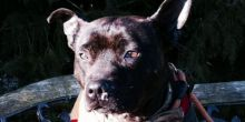Harley is looking for a Furever Home