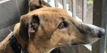 finding-forever-homes-louie-greyhound