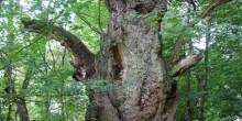 Moor Park ancient oak